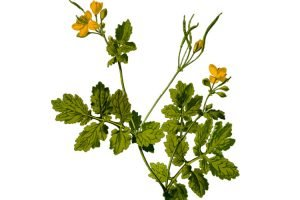 GREAT CELANDINE: The Warts Curing Plant